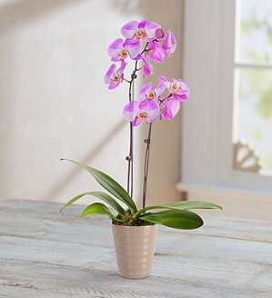 $10 Off + Free ShippingTickled Pink Double Orchid @ 1-800-Flowers.com