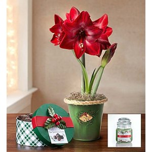 Good Cheer Amaryllis | 1800Flowers.com - 101897