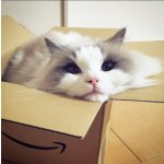 在美国养布偶猫你需要知道的一切