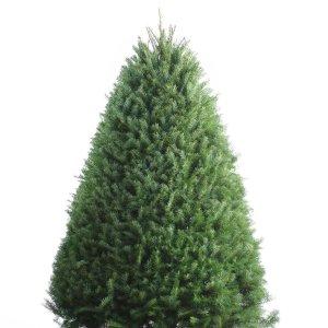 Shop 6-7-ft Fresh Douglas Fir Christmas Tree at Lowes.com