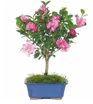 Camellia Bonsai Tree