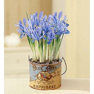 Blue Bird Iris