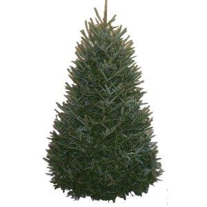 Shop 6-7-ft Fresh Fraser Fir Christmas Tree at Lowes.com