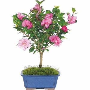 茶花盆景树