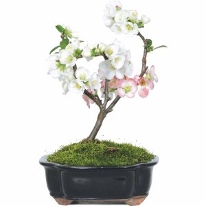 再降!$32.03日本木梨花盆景