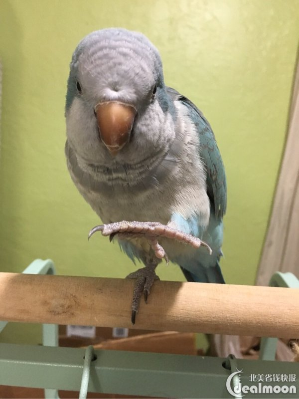 会念经的蓝和尚,听说过 和尚鹦鹉 吗