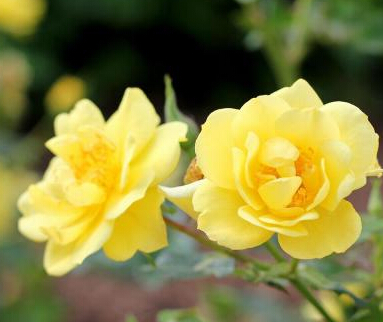 Proven Winners Oso Easy Lemon Zest ColorChoice Rosa 1 Gal. Shrub ROSPRC1076101
