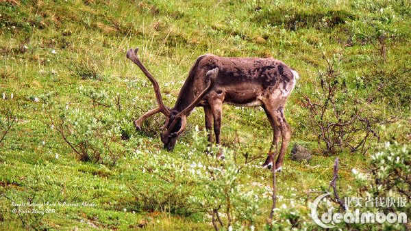 驯鹿大全野生动物