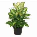 Delray Plants Dieffenbachia Exotica in 6