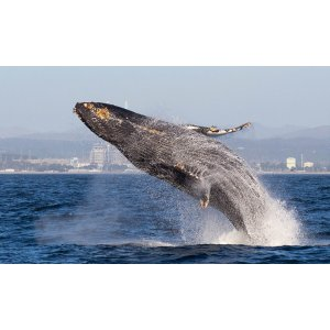 4 Hour Whale-Watching Tour at Blue Ocean Whale Watch