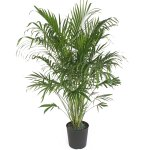 Delray Plants Cat Palm in Pot