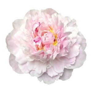 Euro Sarah Bernhardt Peonies, Light Pink (100 stems) - Sam's Club
