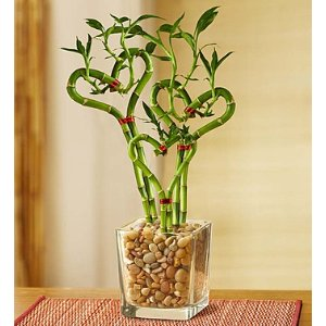 Sweet Heart Bamboo | 1800Flowers.com - 18999