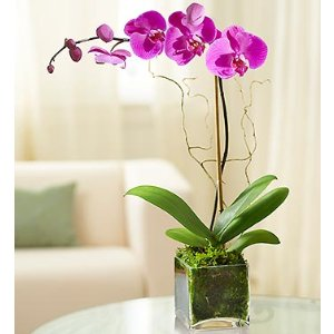 Elegant Orchid | 1800Flowers.com - 18436