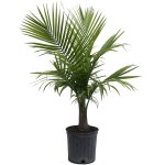 Majesty Palm in Pot