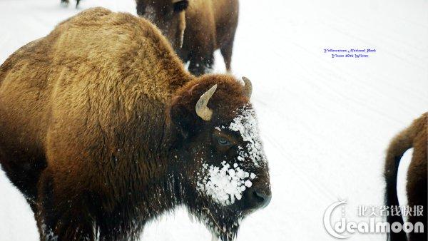 """进入山谷区域,前后几辆车都纷纷停靠的路边平台,大家纷纷下车拿着望远镜开始寻狼,相互间问问有没有看到狼。《BBC Yellowstone National Park, Ep1. Winter》上说:""""wolves, the winter is their time""""。野牛群不少,可惜没看到狼的迹象。因为我们要在当天赶回盐湖城,所以只在Lamar Valley山谷里呆了不到10分钟,就返回了。"""