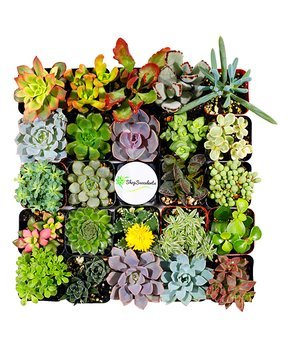 $29.99Set of 20 Succulents @ Zulily