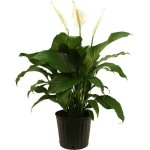 Delray Plants Spathiphyllum Sweet Pablo in 10