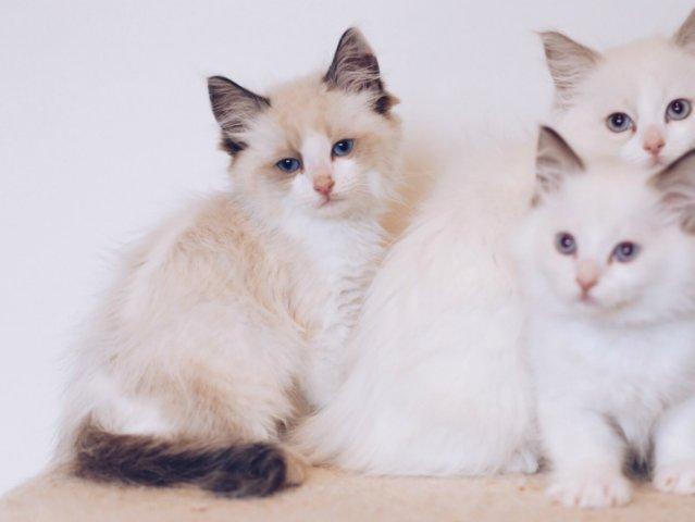 喂,你家缺猫吗? 在美国养布偶猫你...