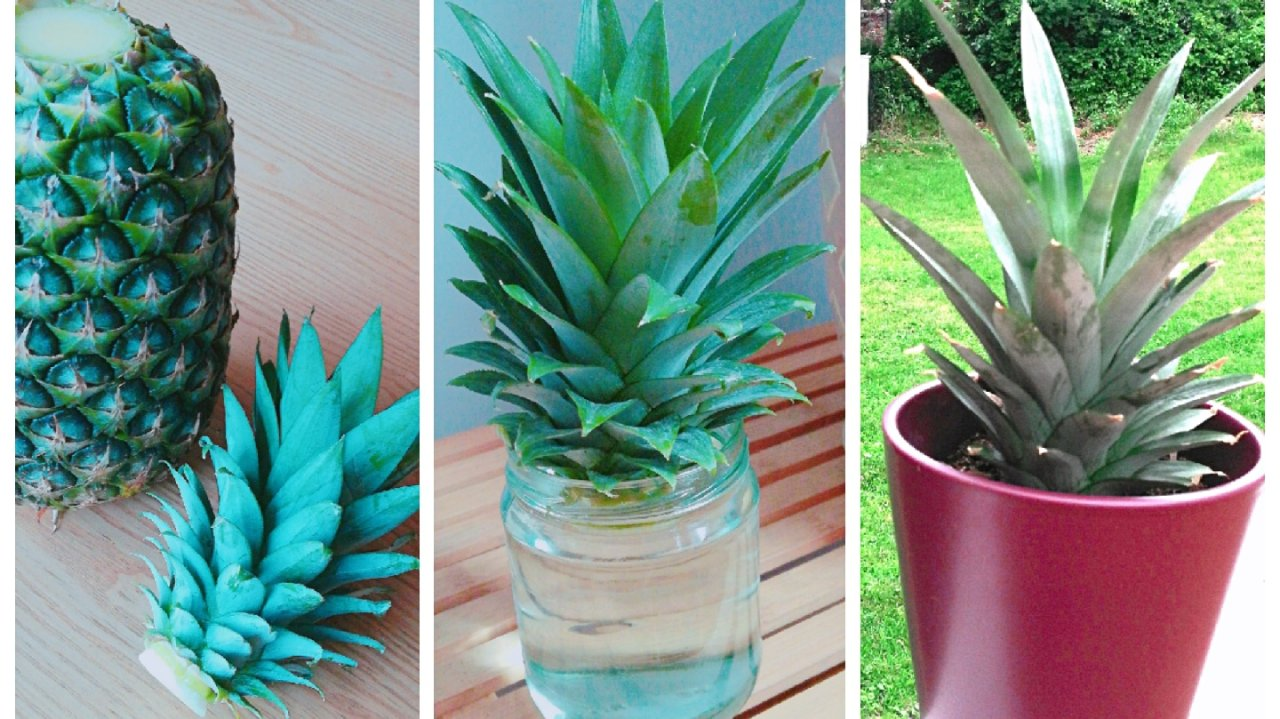 菠萝🍍头成长记