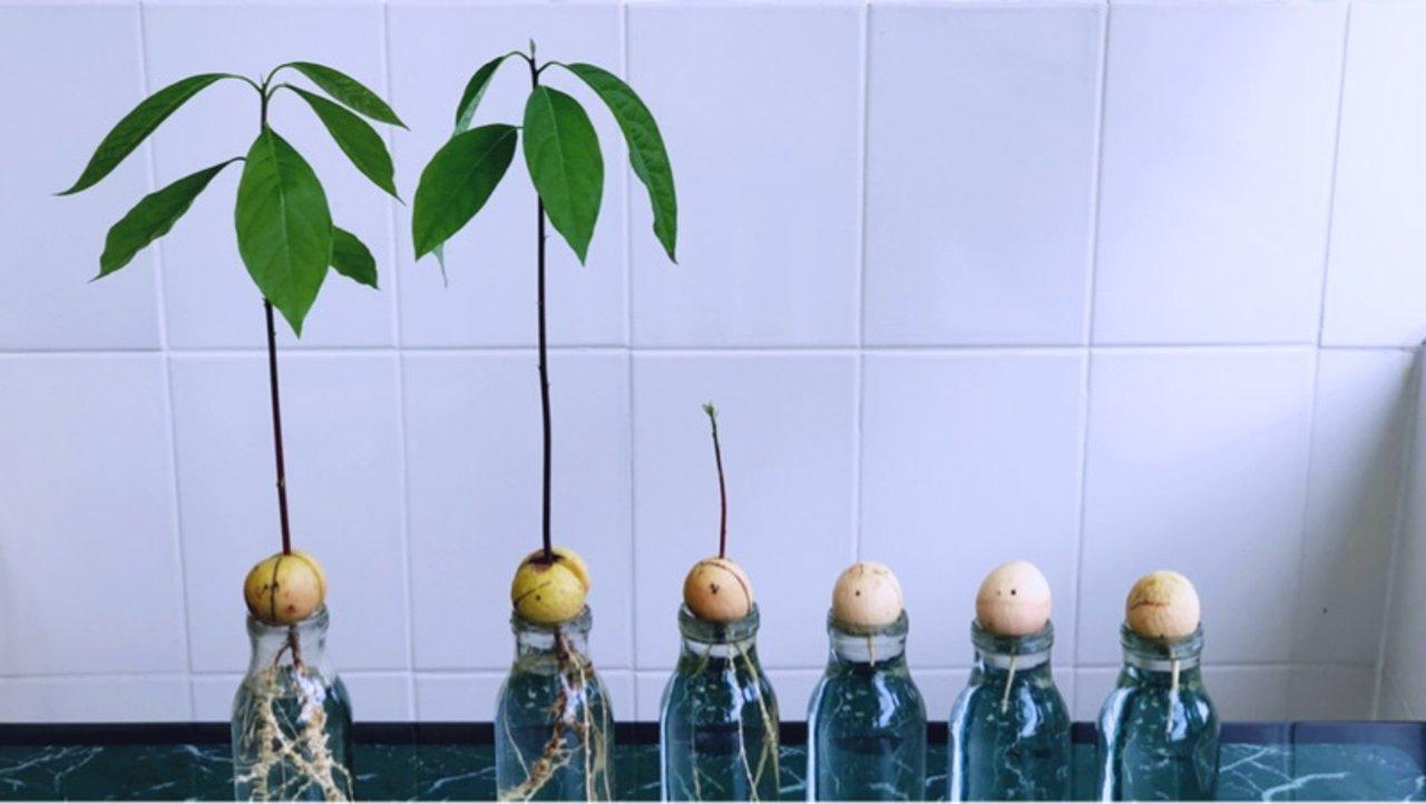 水培牛油果/简单几个步骤100%发芽