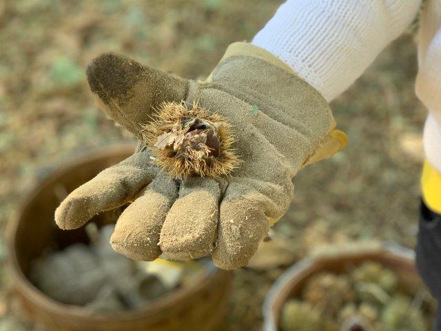 湾区的秋天,遛娃好去处:摘栗子🌰