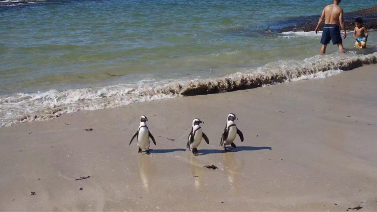 南非开普敦看企鹅🐧之旅