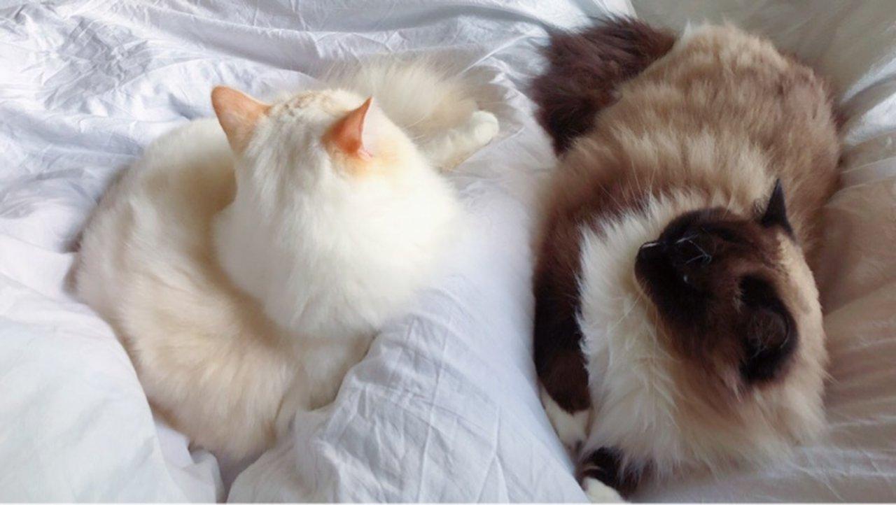 【布偶猫】北美撸猫日常-接猫(下)