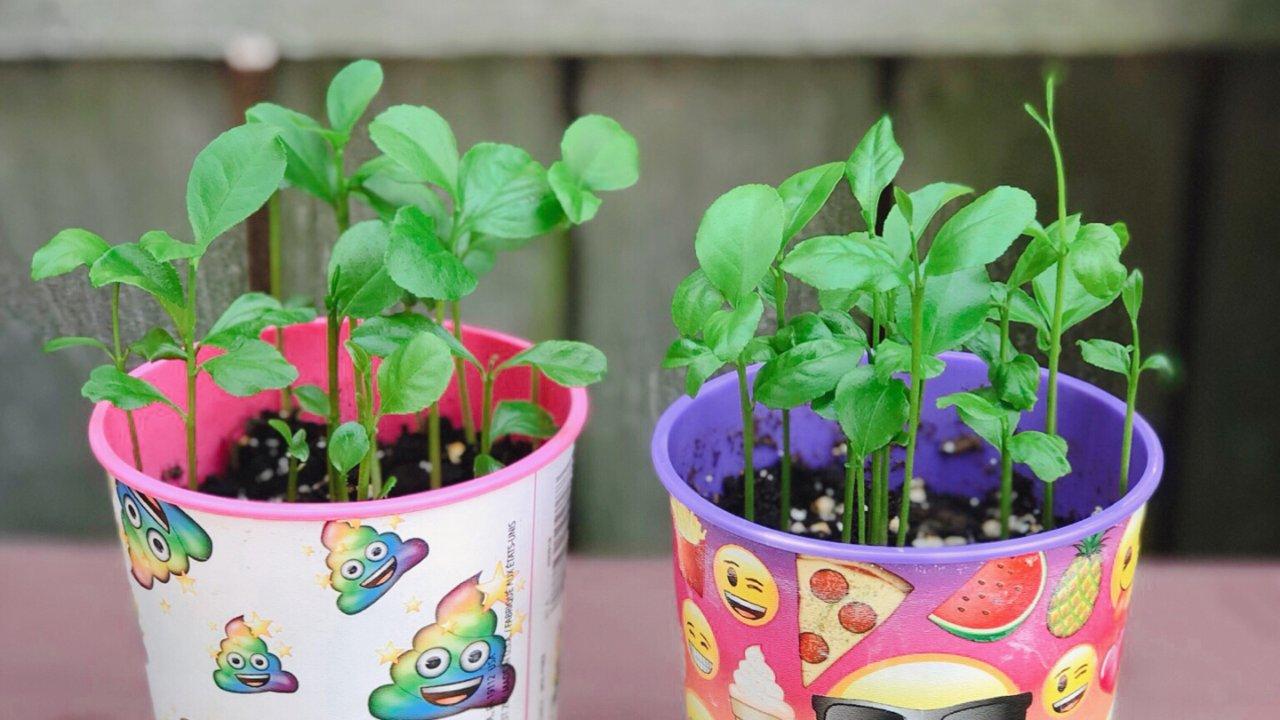 夏天种柠檬苗的好时机/发芽率95%