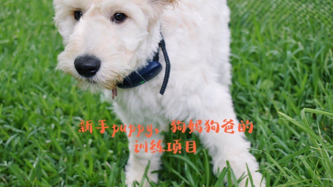🐶新手铲屎官,小puppy接到家都要训练什么?如何训练?