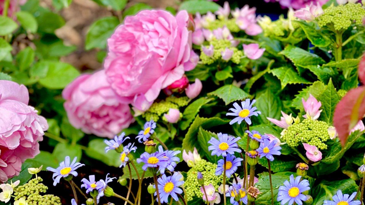 种了一院子欧月,把春天搬到了家里❤️(上篇)