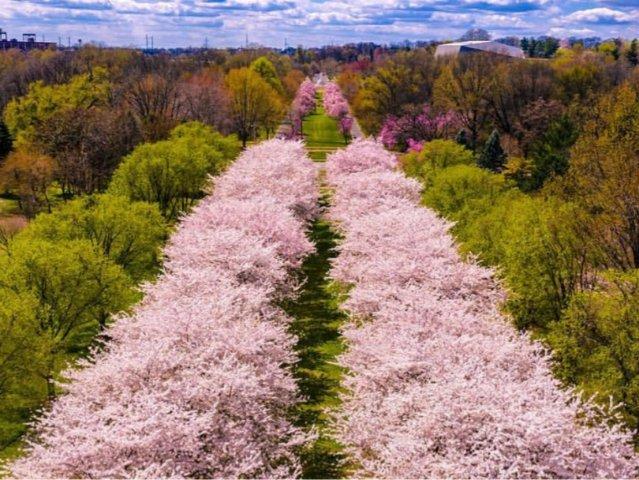 春风十里🌿费城赏樱二日游🌸