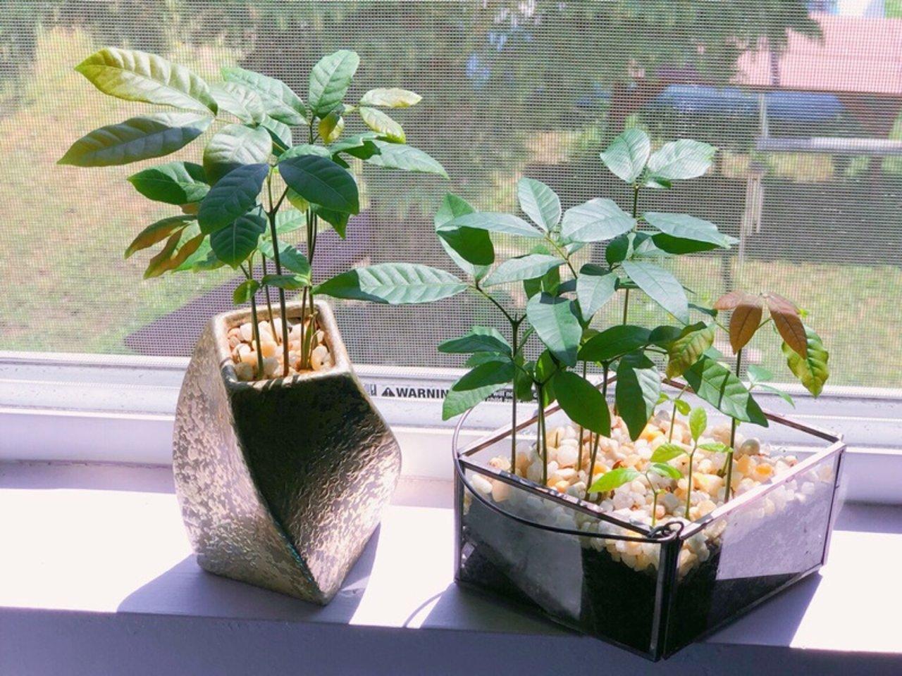 龙眼盆栽/植物杀手也可以种出来的盆栽🎍