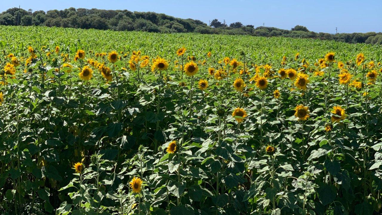 U pick sunflower自己摘向日葵