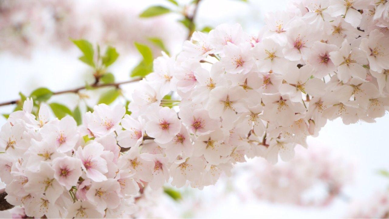 四月樱花🌸季 | 华盛顿DC2天吃喝玩乐踏春🌱🌿🍃游记