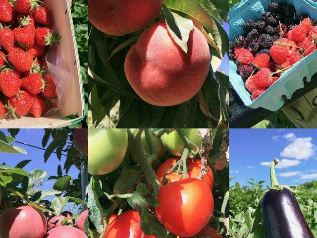 纽约附近的夏季水果采摘 A fam...