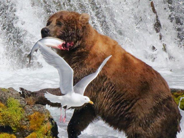 【游记】Katmai转角遇到熊