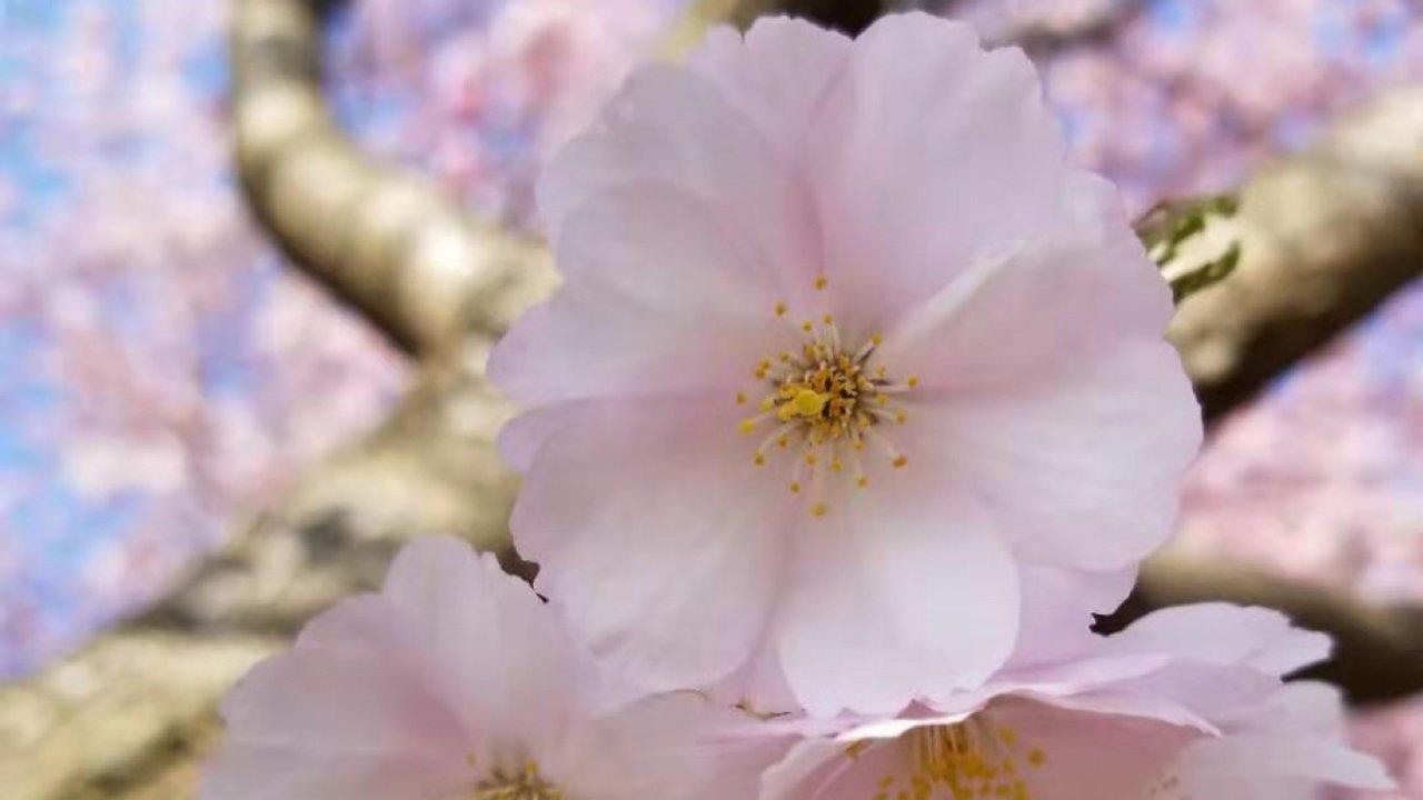 不负春光,樱花树下快闪