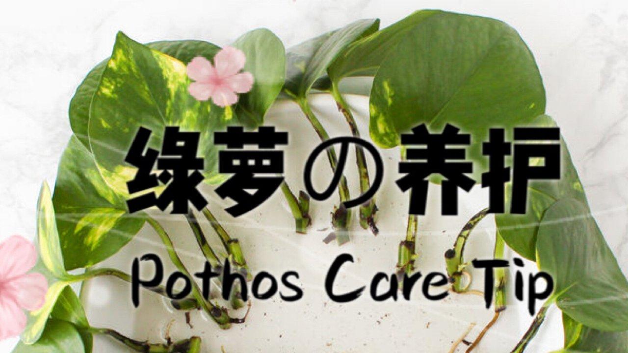 三种常见绿萝的养护