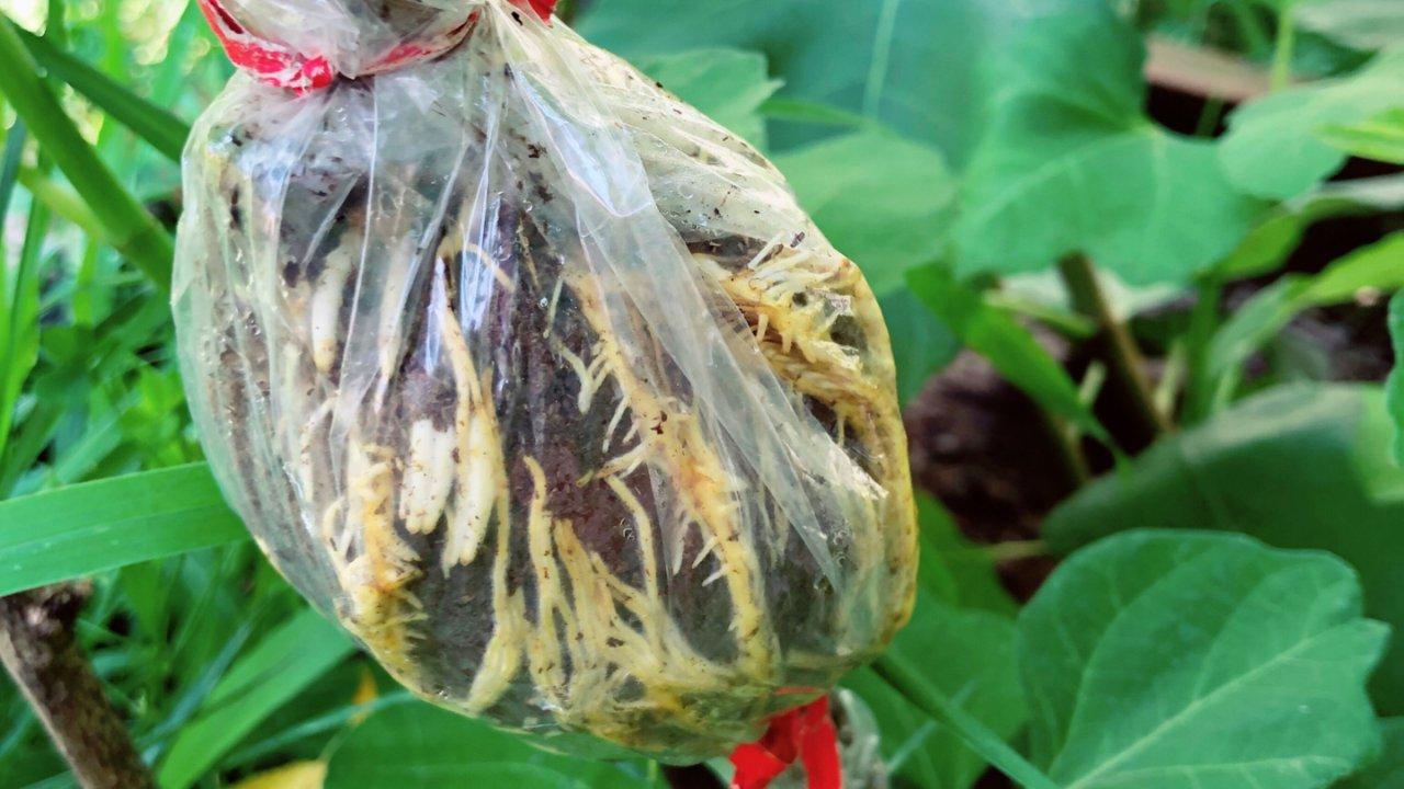 新手也能做到的无花果嫩枝高压繁殖