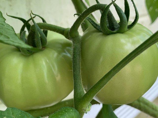 番茄种植日记2