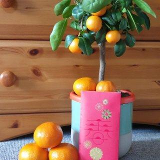 ㊗️🎍春节必买桔子树🍊🍊...