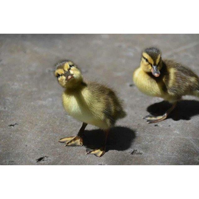 周末出门溜娃偶遇一群鸭<br />...