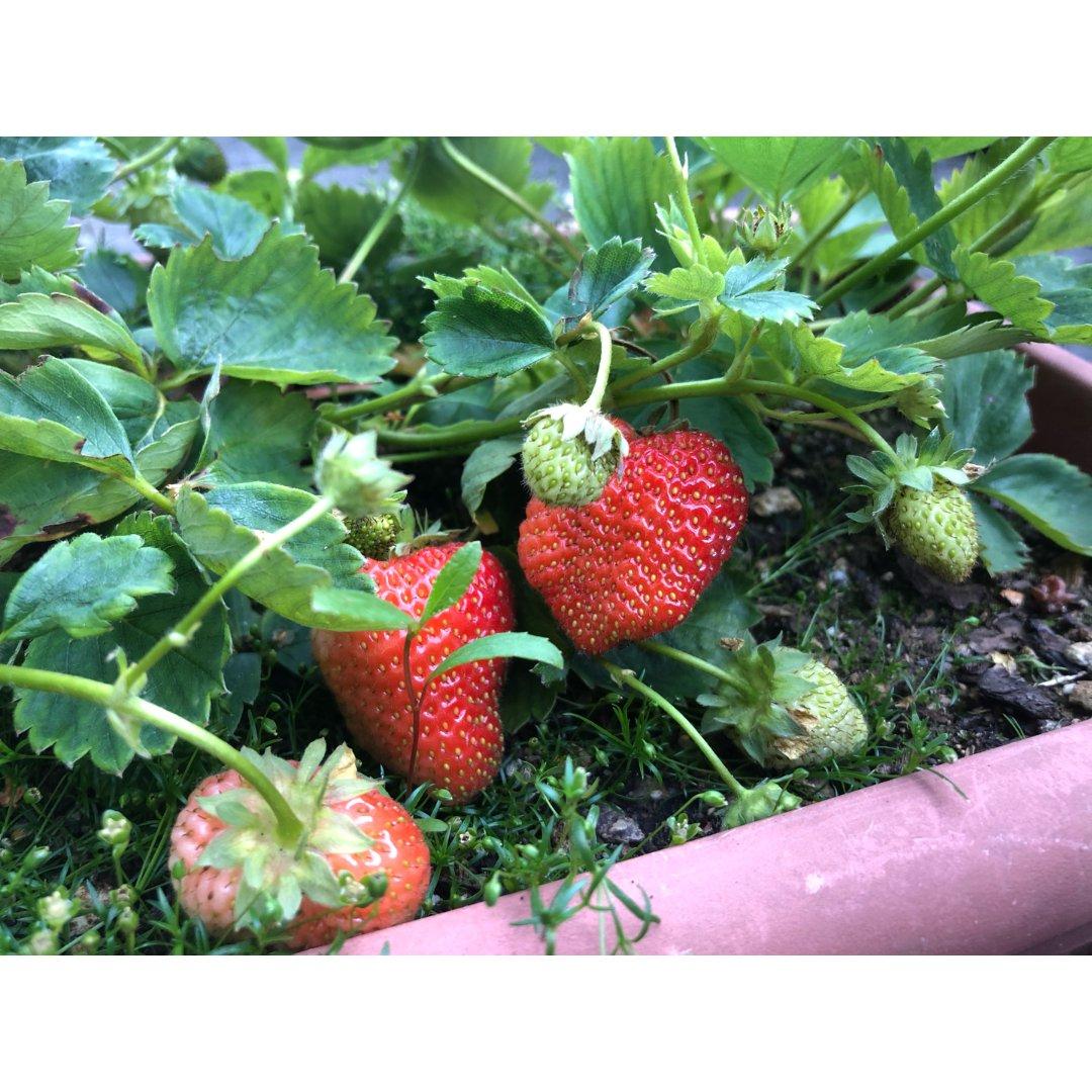 邻居家的草莓🍓