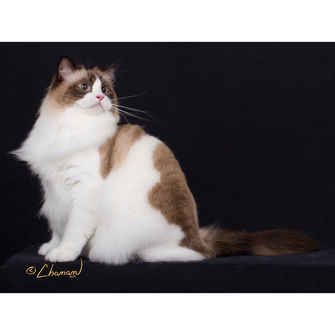 宠物博上线:单身狗携2只布偶猫🐱祝...