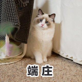 布偶猫用品推荐:CC免洗清洁泡沫...