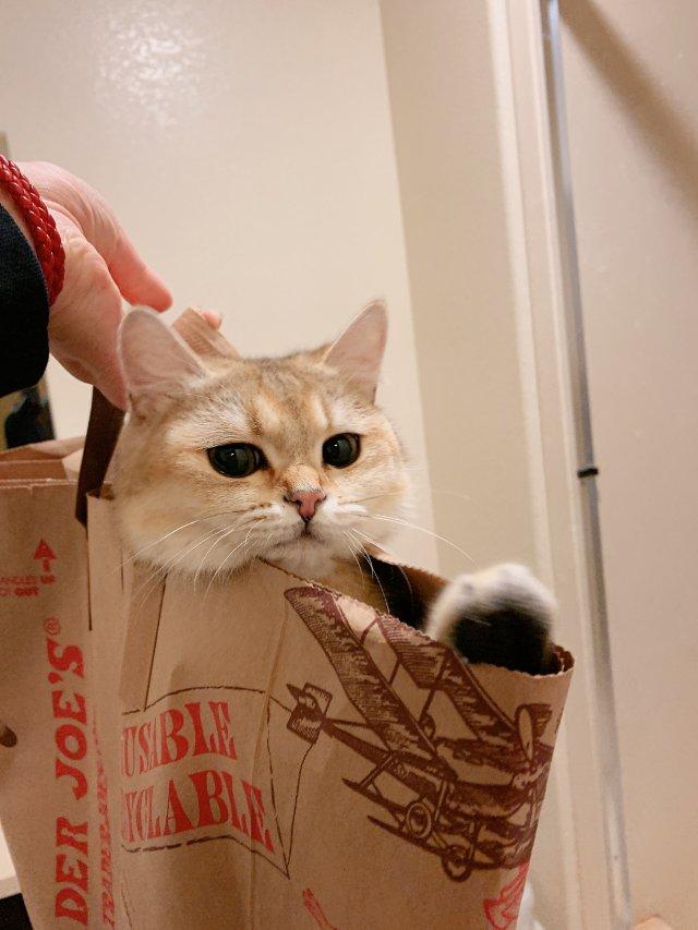 """""""超市里""""拎回来一只小英短"""