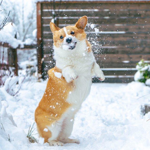 柯基打雪仗,萌得心都要化啦~