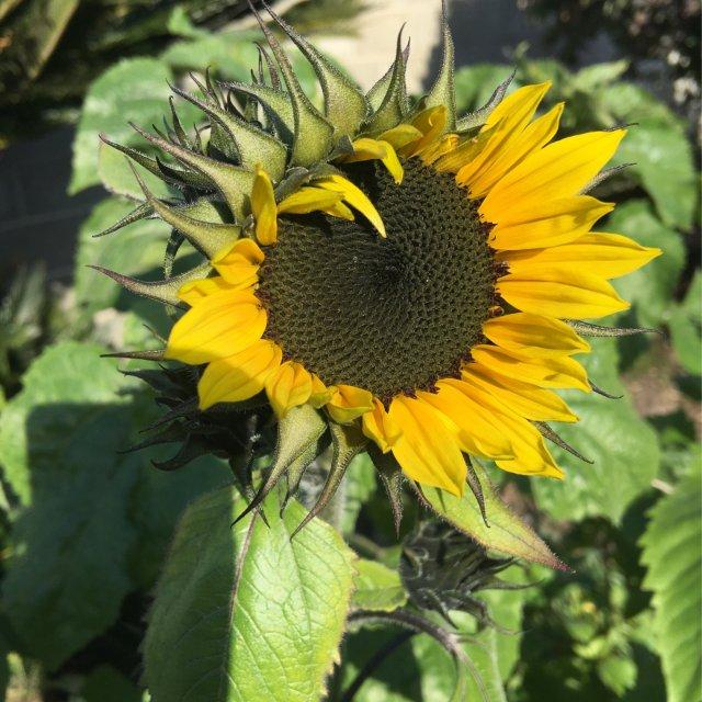 种的向日葵开了第一朵花