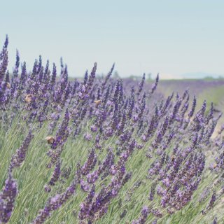 六月薰衣草|Araceli Farms...